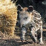 Dia da Anta é celebrado nesta 2ª; quatro espécies estão em perigo http://t.co/zXwiUz2hvA #G1 http://t.co/L2TmF4P1Fq