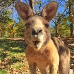 """""""Do you care to join me for lunch?"""" - A curious roo spotted at Weston Park in @visitcanberra (via IG / fran_t) http://t.co/zYu3ORfwbm"""
