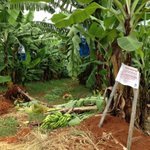 All around the Robsons #banana farm at #Tully are signs things will never be the same again #panamaTR4 http://t.co/RYd3kMJkmd