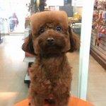 Pet shop taiwanês tosa cachorros em formas geométricas http://t.co/phUn023Hfy http://t.co/zriDoDAts2
