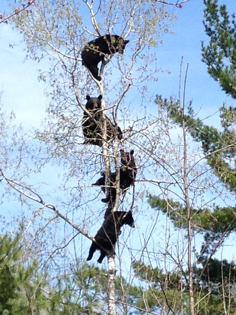 Ladies & Gentlemen: The Climbing Bear-lendas! Photo by Wausau's Jennifer Reinke,  taken Tuesday in Oneida County. http://t.co/jV0W76PZRj