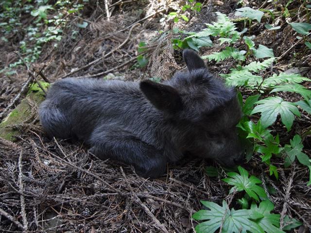 親とはぐれていたカモシカの子供を見かけました。もし、皆さんが親とはぐれた子供の動物を見かけても、親が探し当てて連れて帰るかもしれないので、そのままにしておきましょう(_ _)(自然公園担当) http://t.co/FR104DzqYG