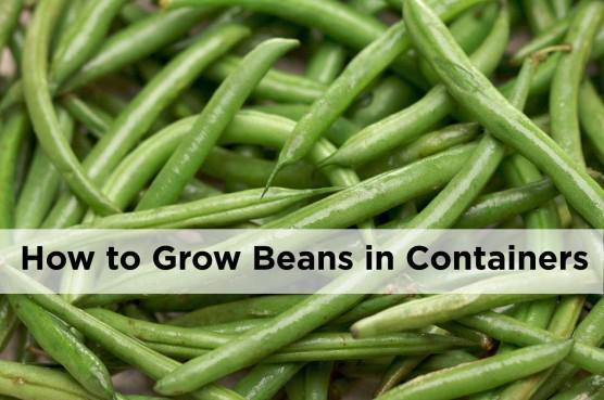 How to grow beans in pots and containers https://t.co/7ZC3xOOZgK via @MyGardenSchool online #gardening courses http://t.co/w7MuzfxgPE