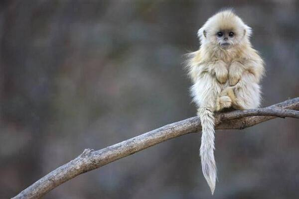 One of the most endangered primate species in the world - The Tonkin snub-nosed monkey. http://t.co/jEnm1u3Btc