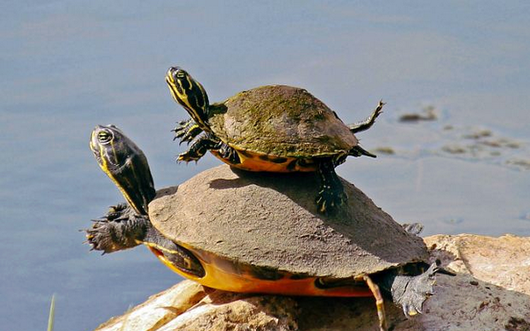Mother turtle teaching her baby how to swim: http://t.co/Ng0mt7doHv