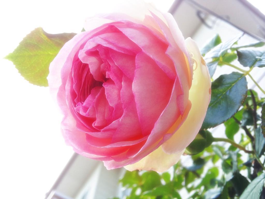 庭の最初のイングリッシュローズが顔出してた\( *´•ω•`*)/♡*。 http://t.co/ptbvWopF8h
