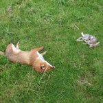 Another illegal poisoners method to kill birds/wildlife. A gutted rabbit left covered in a toxic substance.Kills fast http://t.co/hp00LhZYmx