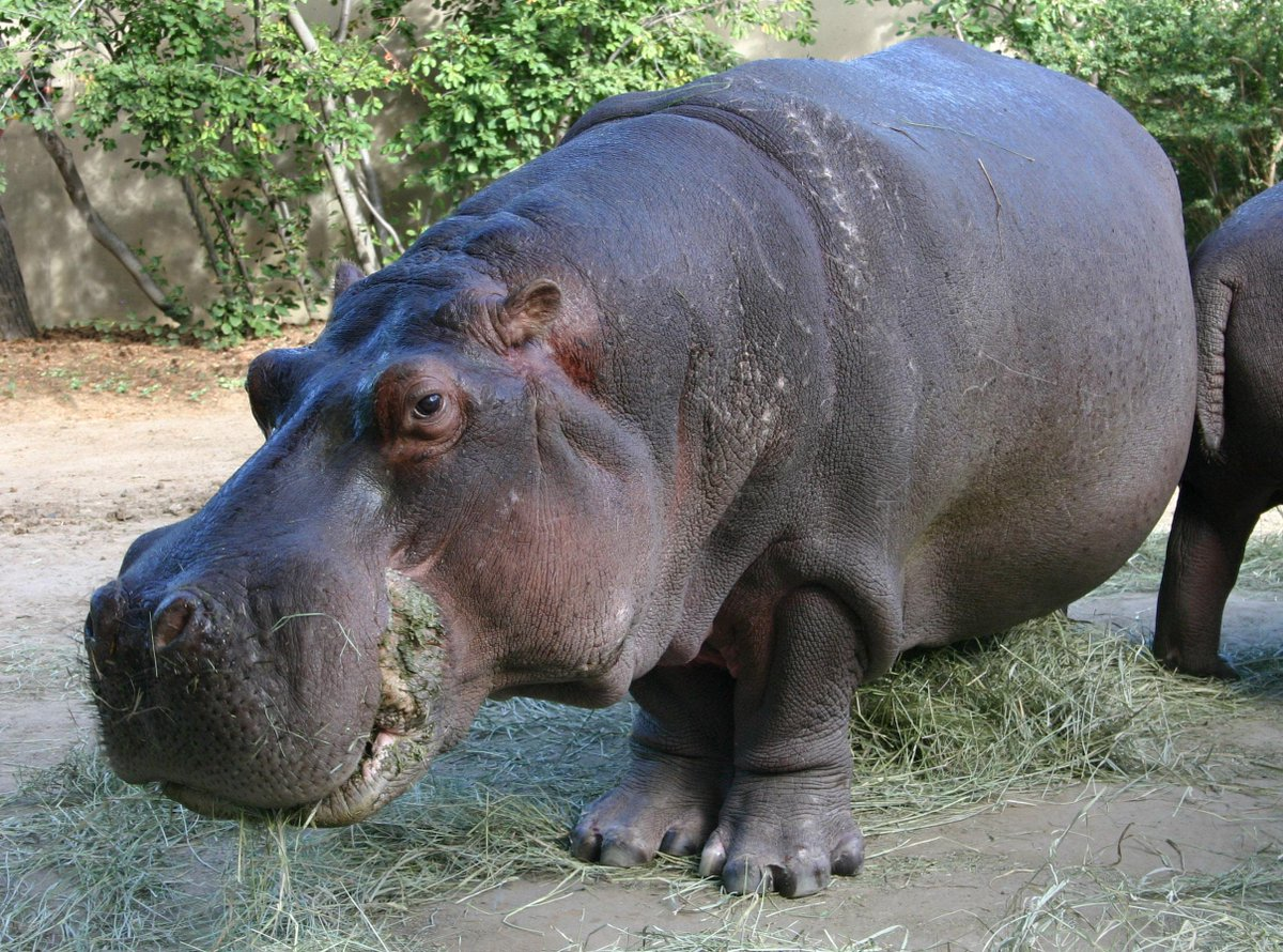 We are deeply saddened to announce the death of Bertie, a 58-year-old male hippo and Denver Zoo's longest resident http://t.co/D7vWcxYlZX