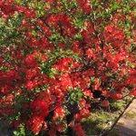 Blooming Quince http://t.co/78TSkTOGUq