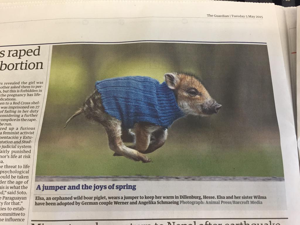 Election overkill? Here's a wild boar piglet wearing a jumper from today's @guardian. You're welcome http://t.co/4QdlROLdUO