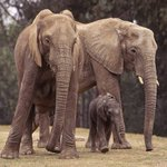 Most large herbivores now face extinction http://t.co/chaeQN59kB http://t.co/XKDbPuDdyj