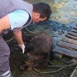 http://t.co/tbWPh5MSCX RT Medya_Sondakika: İstanbul Boğazı'nda ki yavru domuz şaşırttı http://t.co/kUOVQ6k06A http://t.co/XkVgjQTtKB