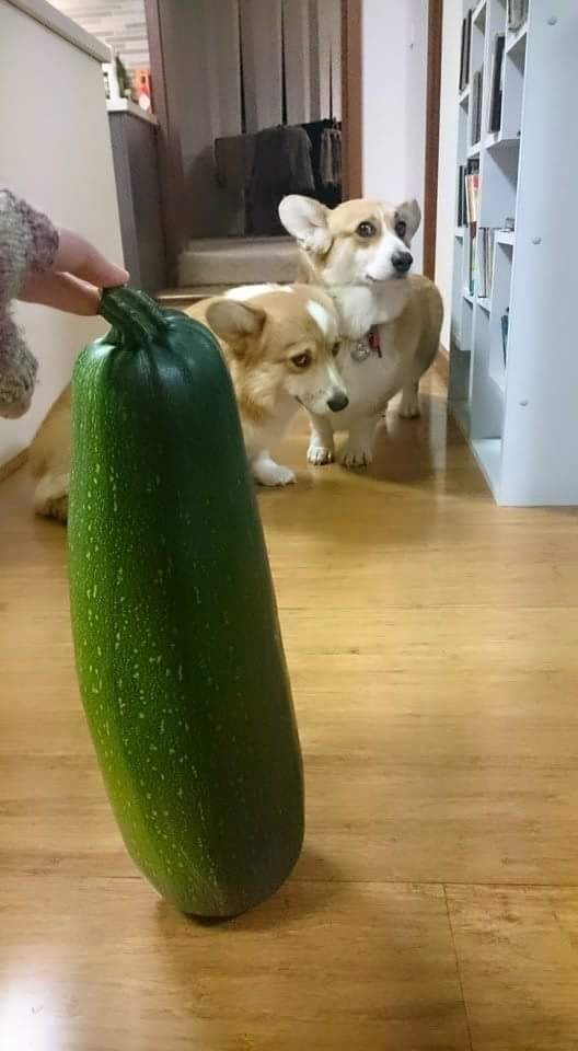 two corgis afraid of large zucchini http://t.co/TfIWfDLYjD