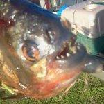 Fisherman catches piranha in Arkansas lake http://t.co/MGjQfiDXPg http://t.co/cukIfuG7Sn