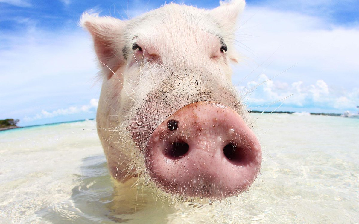 Add this to your bucket list: swimming with pigs in the Bahamas.
