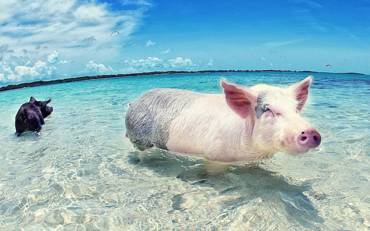 Take a mental vacation: these pictures of pigs swimming in the Bahamas will make your day: