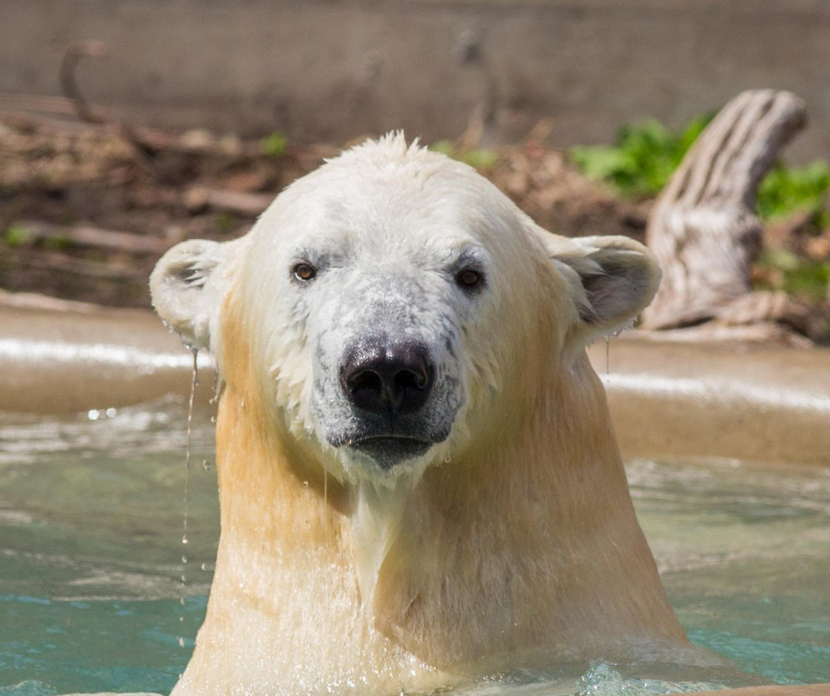 Kali the #polarbear has arrived safe and sound from NY via @FedEx! You'll get to meet him 6/6. Photo: Kelly Ann Brown http://t.co/WbbKpIrif0