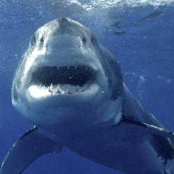 Great white shark off N.J., headed up East Coast @MaryLeeShark http://t.co/bPw9cmVMwC http://t.co/6pAX2nAOL6