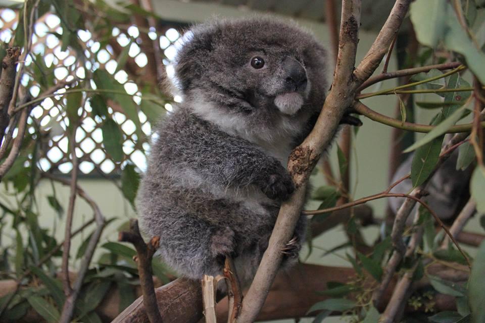 The tiniest koala http://t.co/BhvytGuYTv