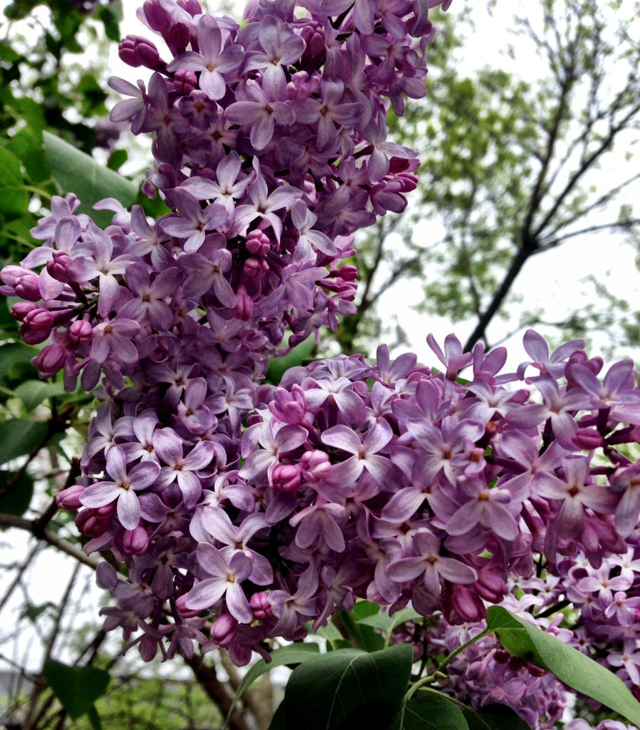 Lilacs are blooming. #gardenchat http://t.co/tgWmMJIGBv