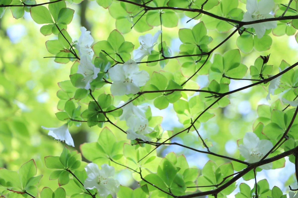 新緑の山に咲くシロヤシオ。西丹沢、畦ヶ丸にて。 http://t.co/FSuDXYvfNT