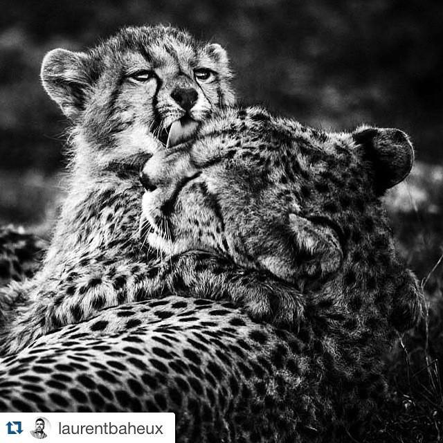 #Repost Un bébé guépard avec sa mère en Tanzanie par @laurentbaheux http://t.co/OCdC3iiNvI http://t.co/PkxZLTdg7j