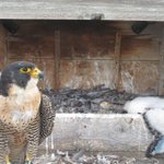 Check out the feather growth! #Rochester #Peregrines http://t.co/zs7Fyeepd4