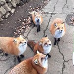 This pic from @waltharding makes it clear: the foxes on Signal Hill are being well fed. http://t.co/DBdhtF5I8T