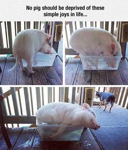 Enjoy the simple things in life, just like this pig!