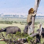 Lion climbs a tree to escape a herd of angry buffalo in Kenya http://t.co/1hXCKT1H6R http://t.co/3s3vag5KMn