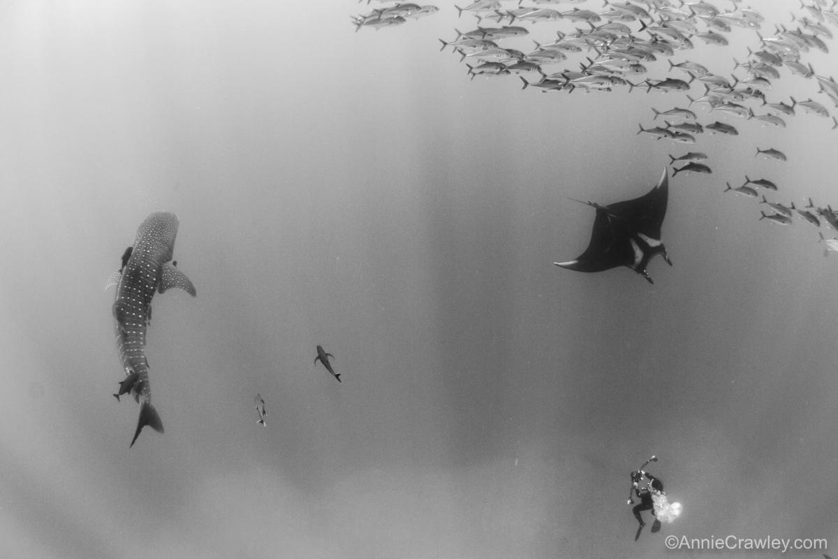 One of the most magical moments I have ever captured in time. #underwaterphotography #scubadiving #mantas #sharks http://t.co/V1wpcfg5JI