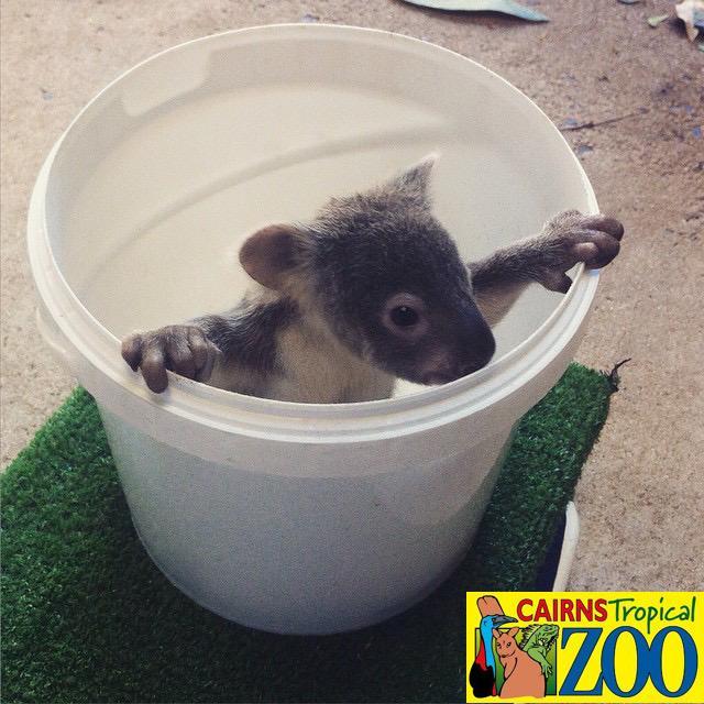 毎週の体重測定でお馴染みのトロピカルズー名物(?)バケツコアラ♪ #オーストラリア #ケアンズ #コアラ #動物園 #トロピカルズー #赤ちゃん #Australia #Cairns #Zoo #exploreTNQ http://t.co/5EsagIXdUc