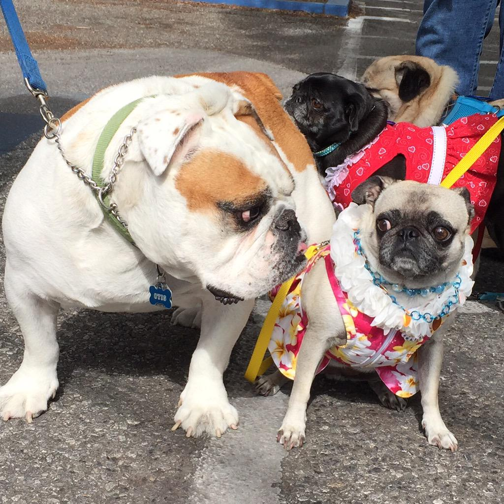 Hug Pugs at the Los Altos Pet Parade