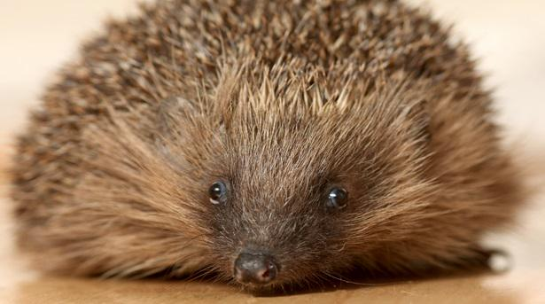 Springwatch presenter @michaelastracha warns #hedgehogs could be gone in a decade: http://t.co/Ppqd2gml5q http://t.co/iYhp33M0nz