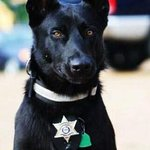 This is the dog that may have saved the life of a Hancock Co. deputy. Story on WLOX tonight. @WLOX http://t.co/YeJDaVIv6R