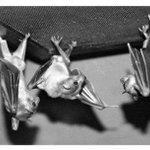 Если перевернуть фото , на котором летучие мыши висят вниз головой , то кажется, что они танцуют http://t.co/voA218B76t
