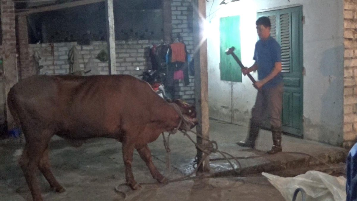We spoke to @AnimalsAus to get the low down on cattle hammering in Vietnam. Government says it won't halt the trade. http://t.co/H6WmBvNqob