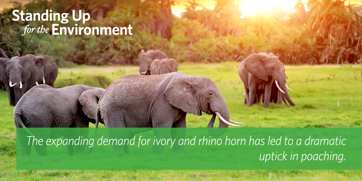 Expanded ivory demand has led to a dramatic uptick in poaching → https://t.co/hQdPv4fUqS #StandingUpForTheEnvironment http://t.co/Twhc0UWeyB