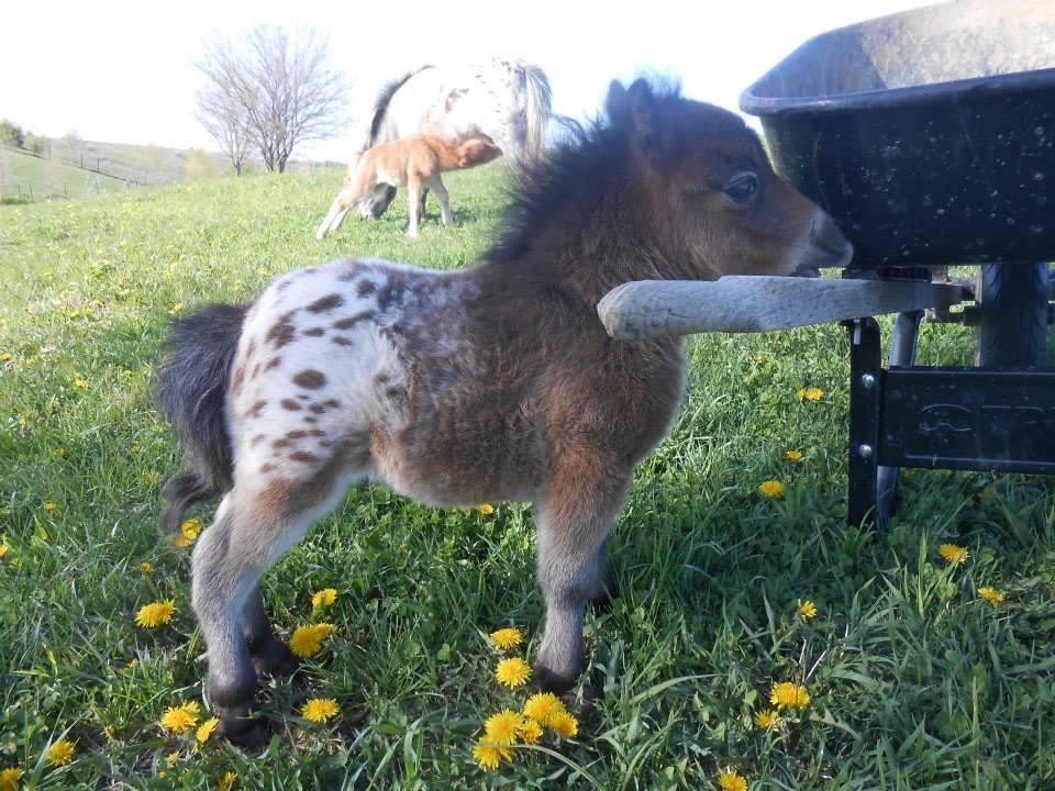 OMG. It's a baby, Appaloosa, mini horse: http://t.co/yds6ReeqKl