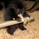 A baby porcupine is called a porcupette. More like porcuCUTE! Photo: @woodlandparkzoo - http://t.co/2PAkqXx5a2 http://t.co/1f6G9YPLWp