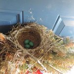 Robins nest wreaks havoc at front door of Ottawa familys home http://t.co/A9Qtm7lxey #ottnews #ottnews #robinsnest http://t.co/60rnDLkEUd
