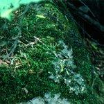 コケ植物門 #国際生物多様性の日 http://t.co/2yh46ELk5y