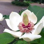被子植物門 #国際生物多様性の日 オオヤマレンゲ、井の頭自然文化園にて http://t.co/IidGGVTf97