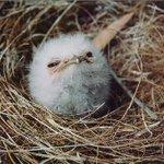 最近、疲れた時はガマグチヨタカ画像見て心癒してる。めっさかわええよぅ。 http://t.co/Vjnf6knqZ9