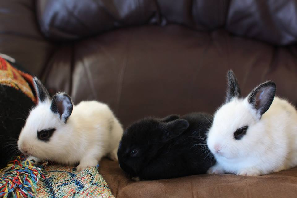 "Blanc De Hotot ""sport"" babies. I'm raising an endangered breed plus my meat mutts. These fellas are so"