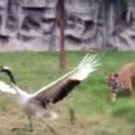 【動画】絶体絶命の鶴、3頭の虎に囲まれ…… http://t.co/2RE3iASCYX http://t.co/c0PlfGNbRz