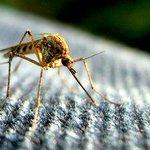 【びっくり】血を吸うメスの蚊を無害なオスに変化させる遺伝子が発見される http://t.co/K8Z3Orlxmg 「Nix」と呼ばれる遺伝子をメスの蚊の生殖器に注入すると、3分の2以上の個体がオスの生殖器を発達させたそうだ。 http://t.co/9t4P0pSEQA