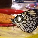 Have you been to #Dubais #Butterfly Garden yet? Watch video by KT photographer Rahul Gajjar: http://t.co/eKJz5nYZbF http://t.co/RRt1XCWf3O
