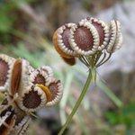 """#Buongiorno con gli """"Ombrellini pugliesi"""", i frutti somigliano a piccoli gioielli: http://t.co/NrvDM6YpTT #meditflora http://t.co/niwMZK0G42"""