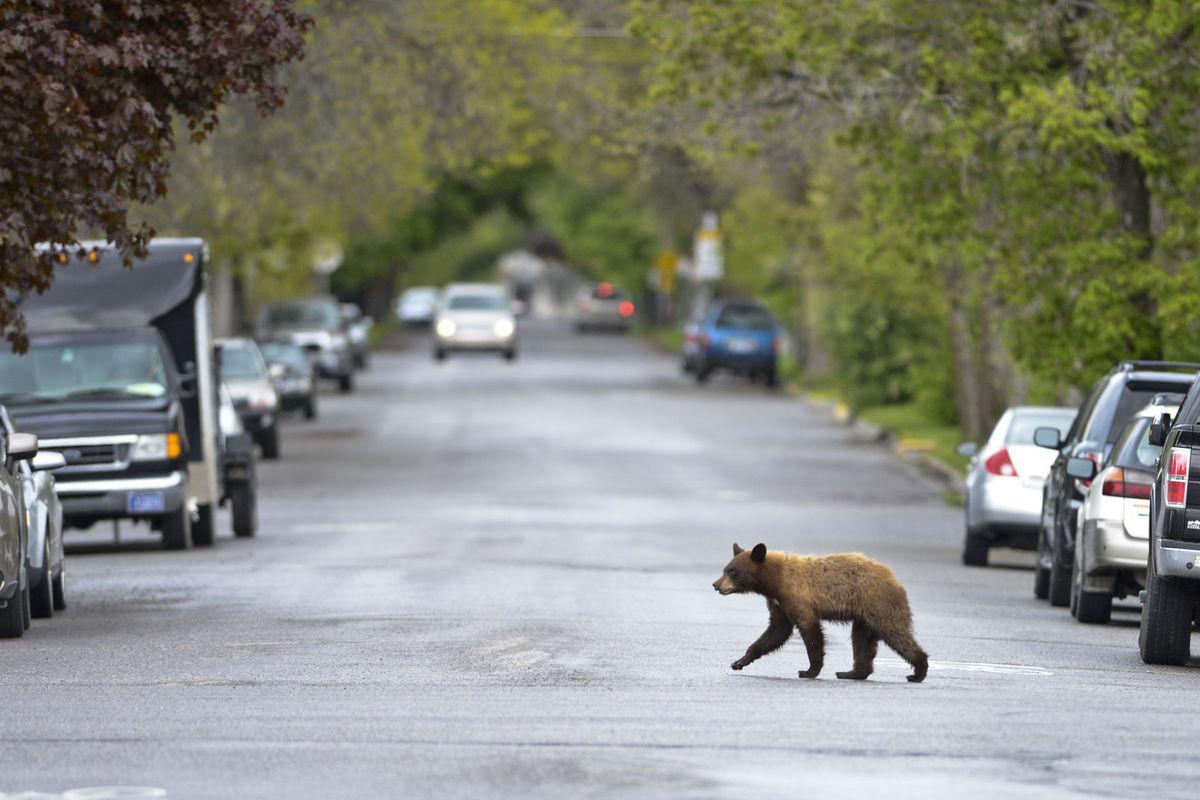 Black bear takes afternoon ramble through Bozeman neighborhood http://t.co/ioSEAN4E6F http://t.co/q7c5azBeTF